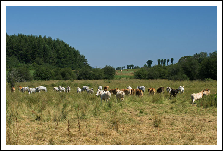 vaches site13707