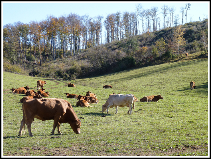 vaches_en_or_site1000674-2