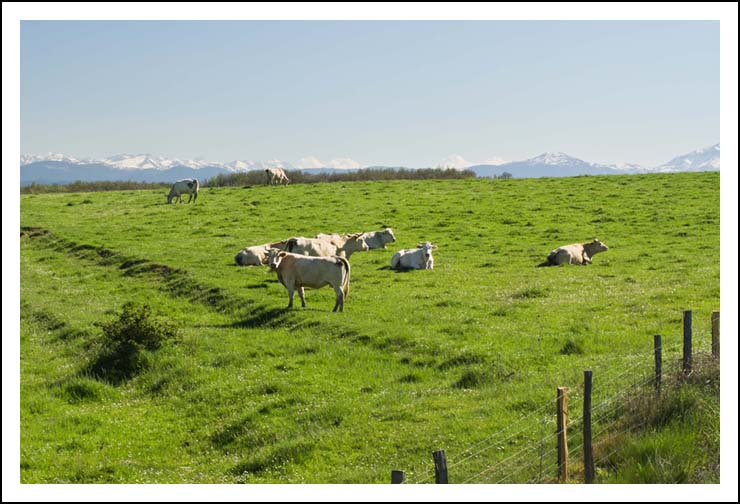 vaches site5818